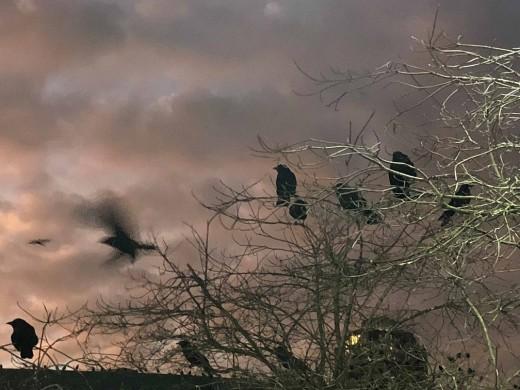 Still Creek crow's roost, December 2017. Photograph courtesy of Julian Hou.